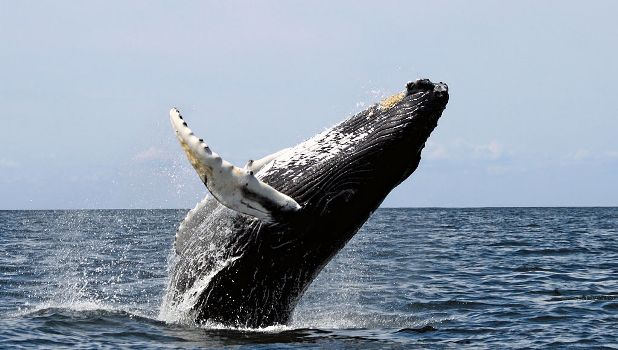 Humpback Whales can be seen Breaching from Hawaiian shores